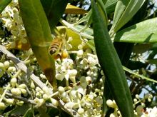 Bees on olive trees at Devon Siding