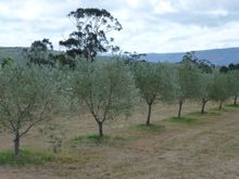 Devon Siding olive grove in Summer 2013