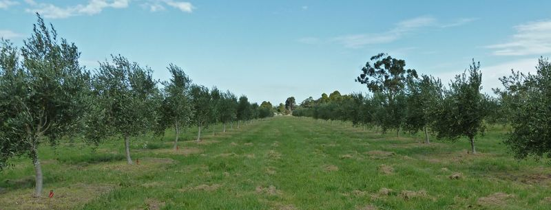 Wide shot of Devon Siding olive grove