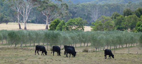 Cattle next to the Devon Siding olive grove