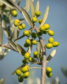Green olives at Devon Siding