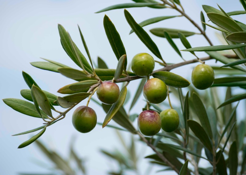 Olives ripening at Devong Siding Olives